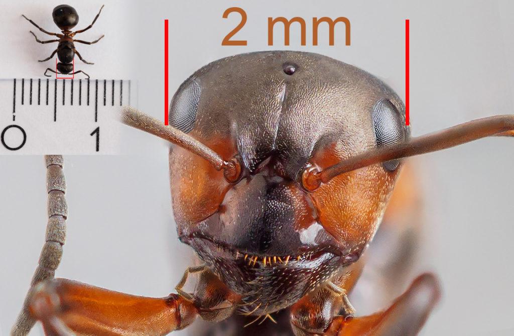 Ameise Größenvergleich Makro Foto