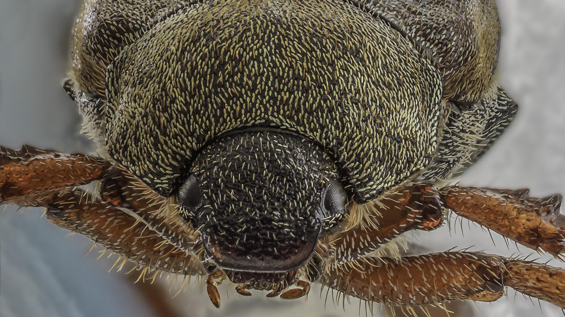 Sesam Käfer