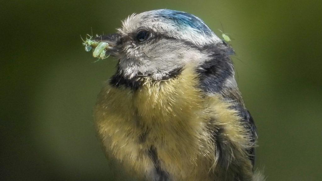 Blaumeisen Futter